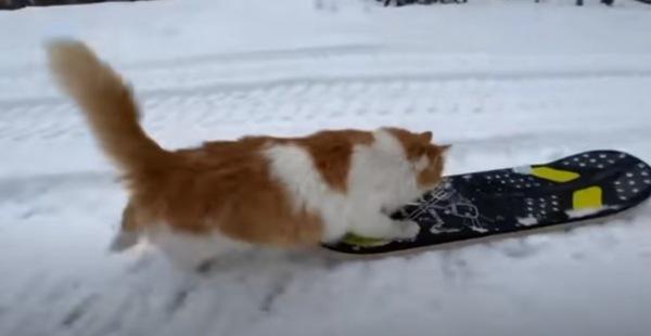 スノボを押す猫