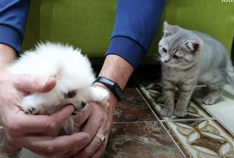 飼い主の手を噛むポメラニアンを睨む猫