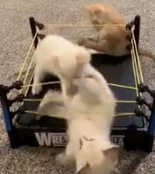 リングの場外戦で戦う猫