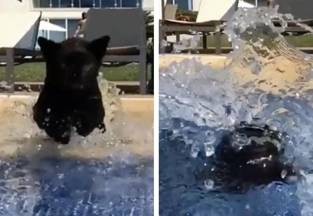 プールに飛び込む黒豹の子供
