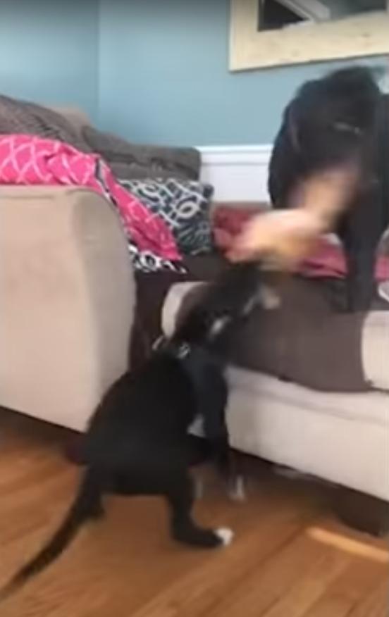 猫のぬいぐるみを引っ張り合う犬