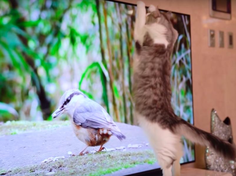 テレビの鳥がきになる猫