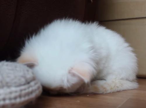寝落ちした子猫