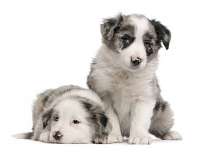 ブルーマールの犬