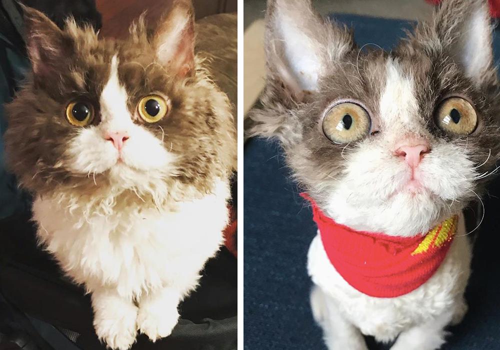 エーラス・ダンロス症候群のセルカークレックスの子猫