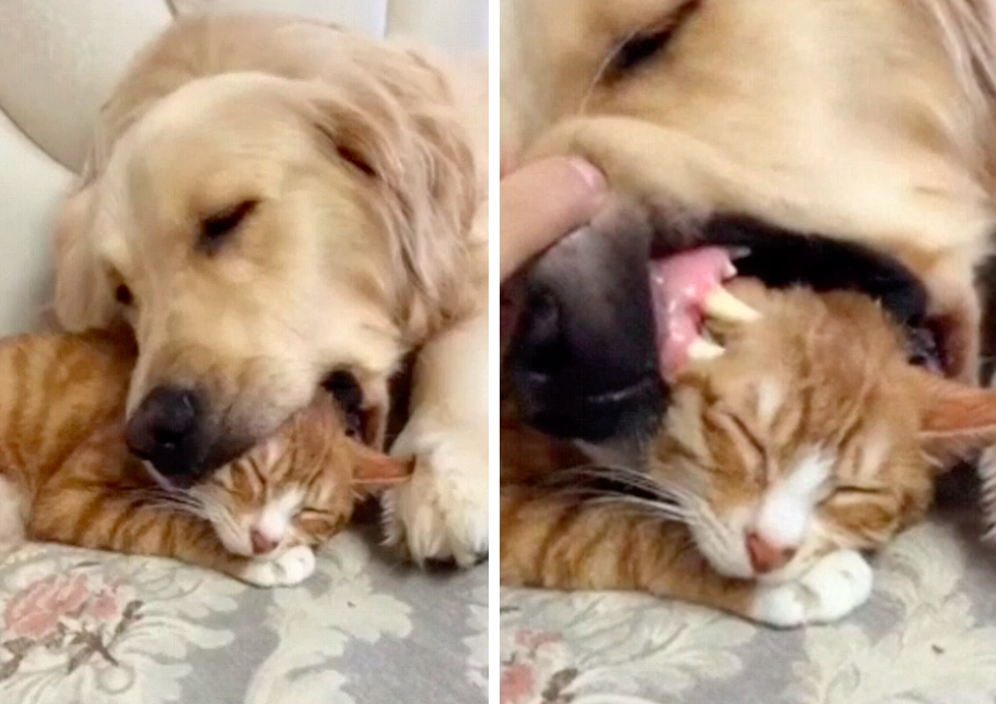 猫を口に入れながら寝る犬と猫