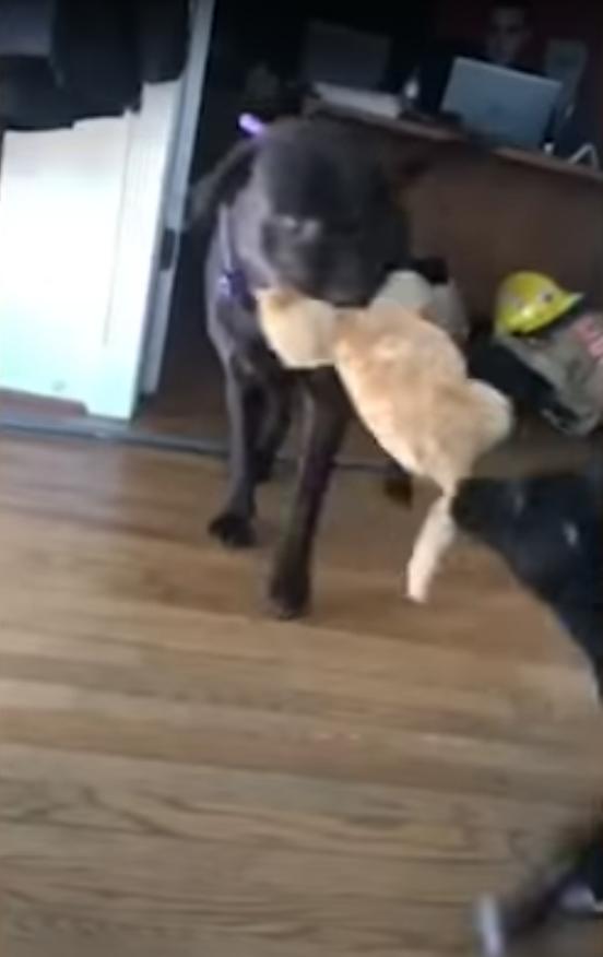 猫のぬいぐるみを取り合う犬