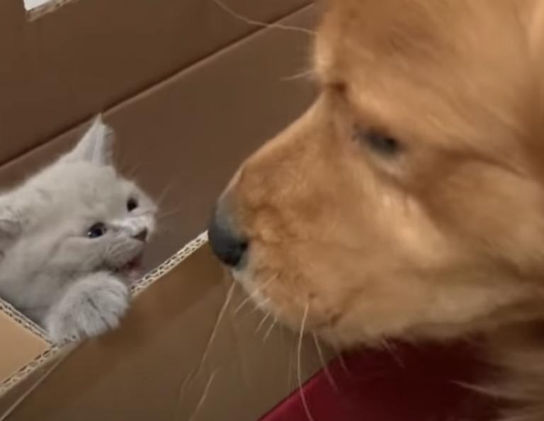 ゴールデンレトリバーと子猫