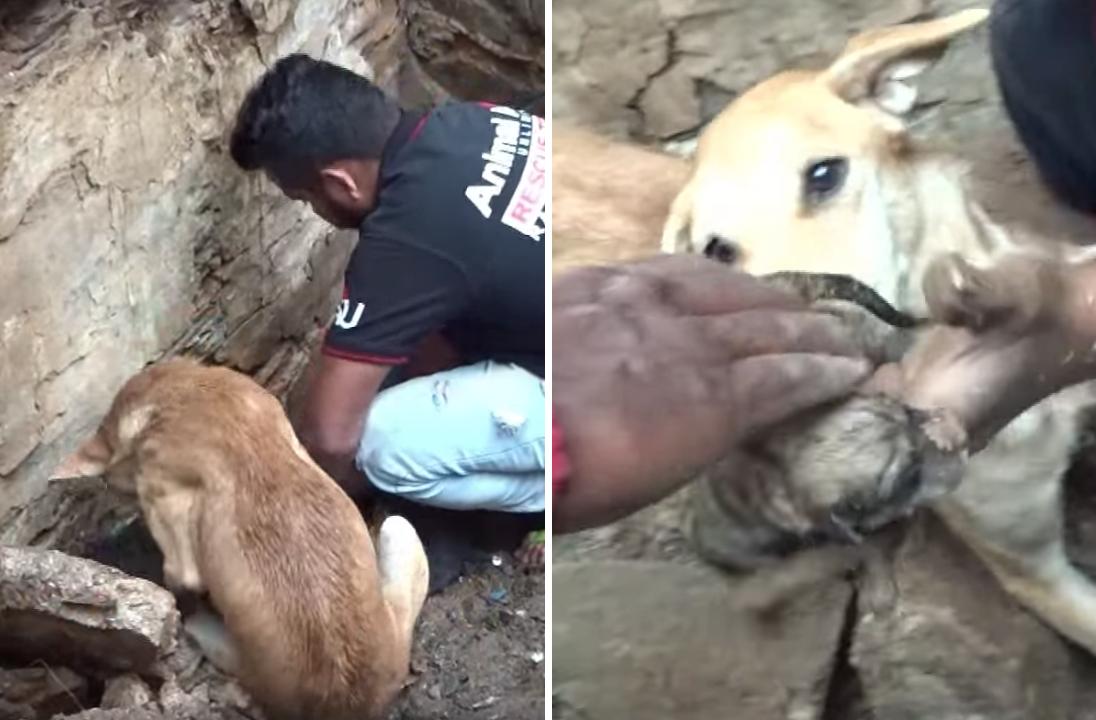 子犬を瓦礫の下から助け出す母犬