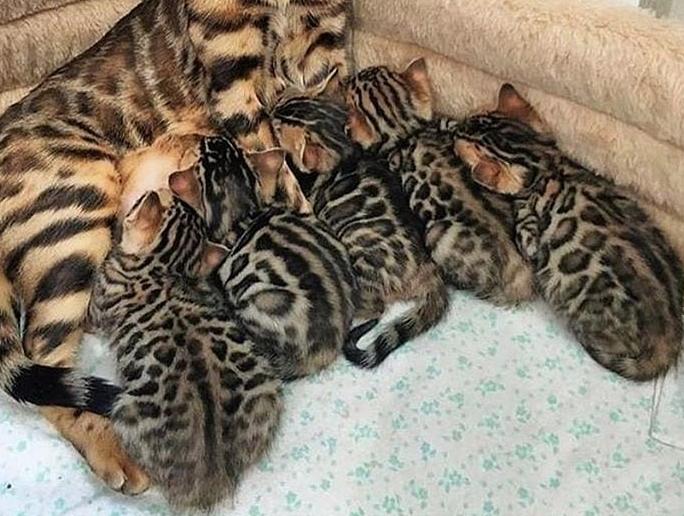 豹柄の猫ベンガルの子猫