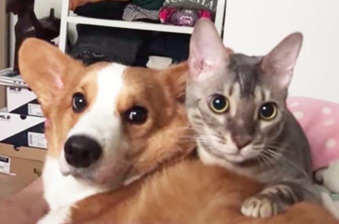 猫とコーギー