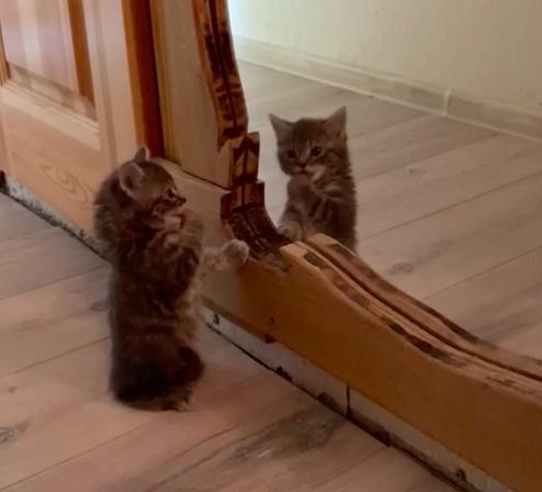 鑑を見ながら毛づくろいする子猫