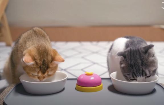 二匹揃ってご飯をを食べる猫