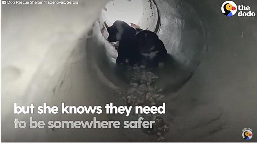 排水管の中にいる犬