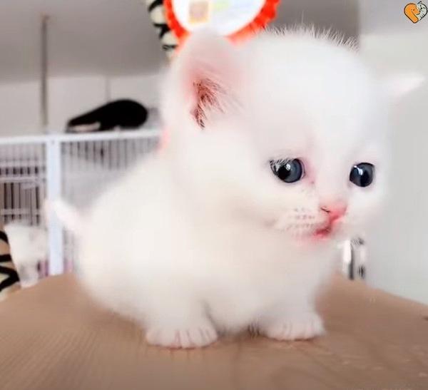 白いマンチカンの子猫