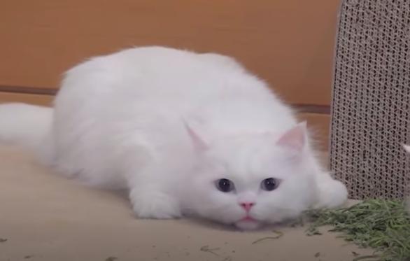 キャットニップに興奮する白い猫