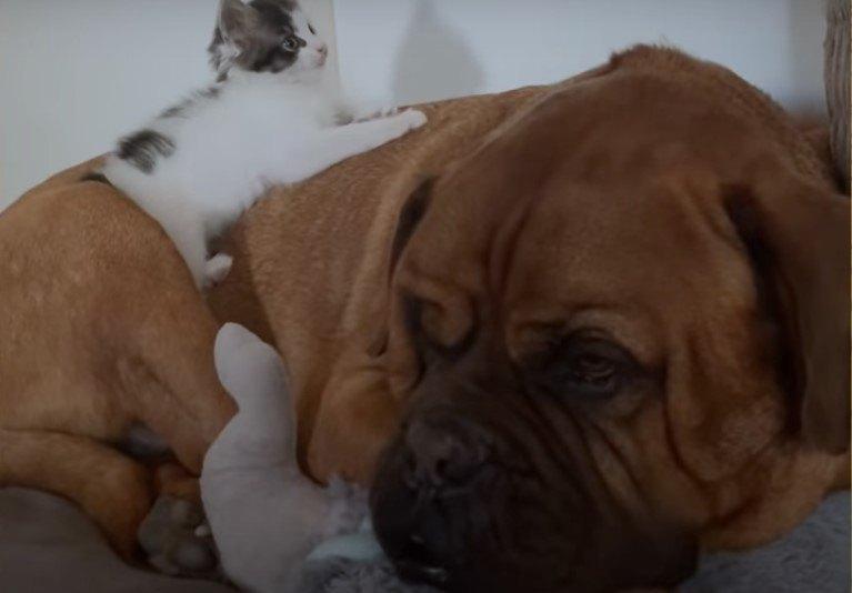 マスティフ犬と猫