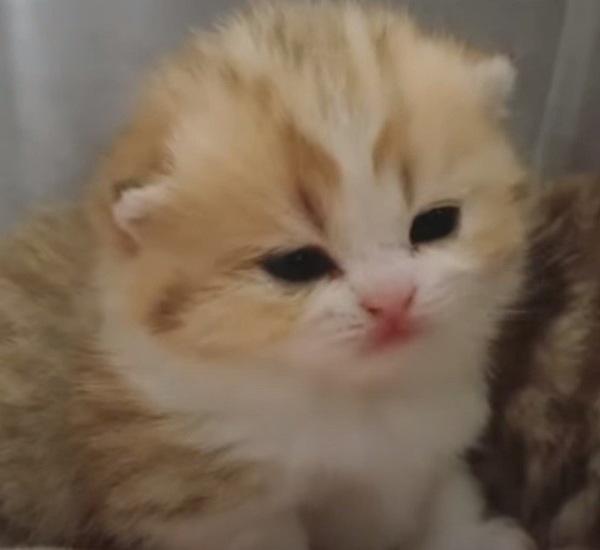 眠くなってきたマンチカンの子猫