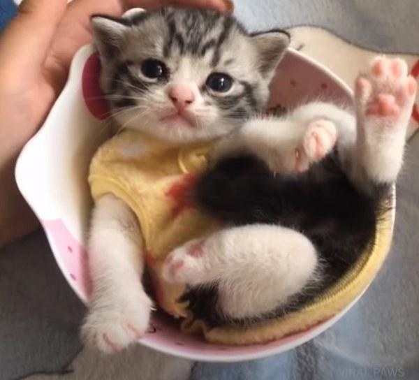 カップに入る子猫