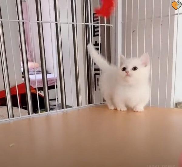 お散歩する白いマンチカンの子猫