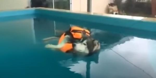 プールに浮かぶハスキー犬
