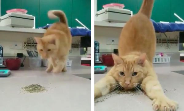 キャットニップを独り占めする猫