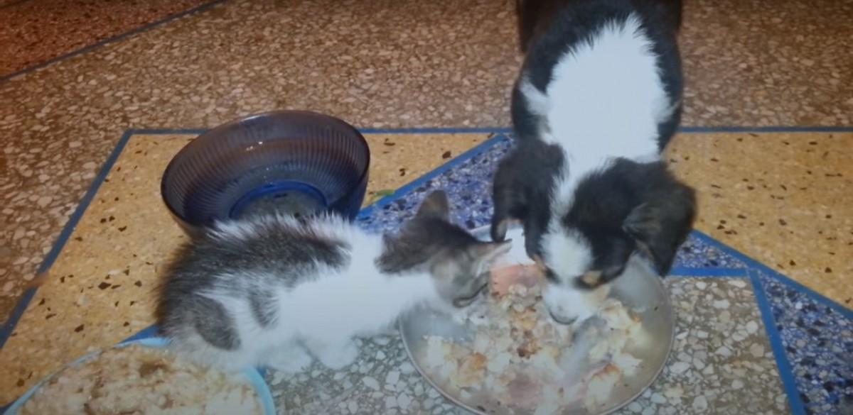 一緒にご飯を食べる子犬と子猫