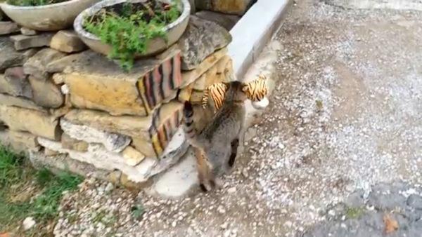ぬいぐるみを自宅へ持ち帰った猫