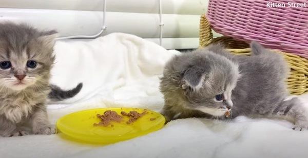 ご飯を口に付ける子猫