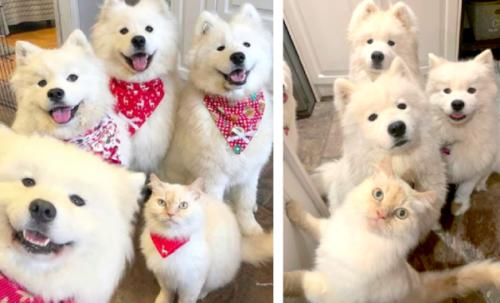 サモエドと猫