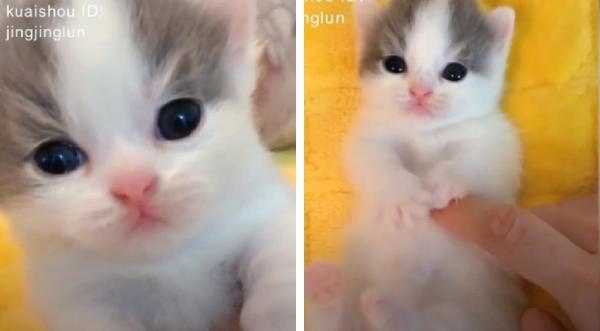 お腹をマッサージされる子猫