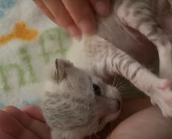 弟の白トラ猫