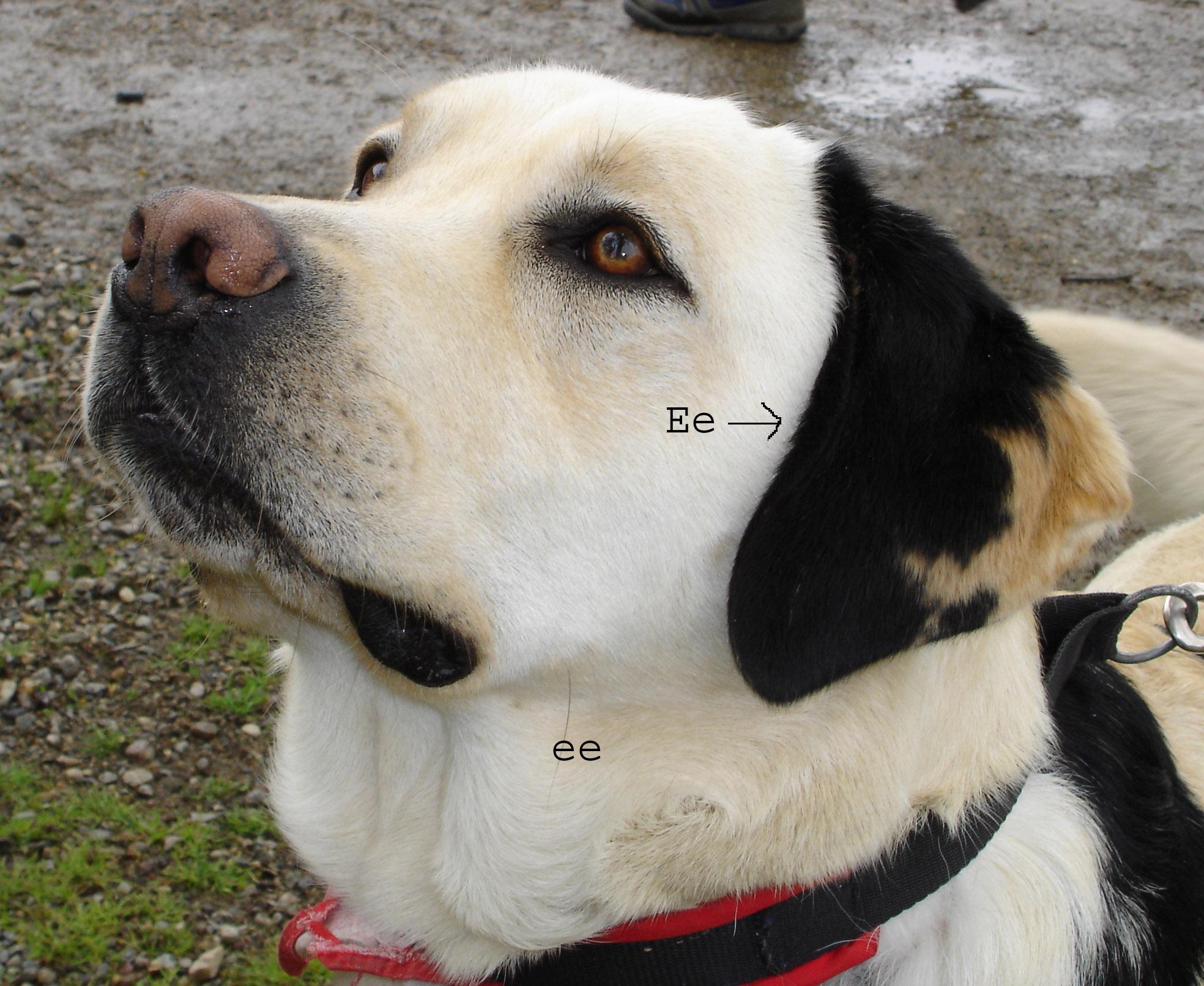 黒い斑点おある犬の遺伝子