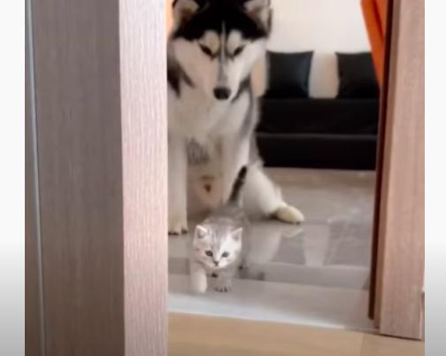 子猫を見つめるハスキー犬
