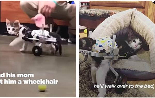 車椅子を使う子猫