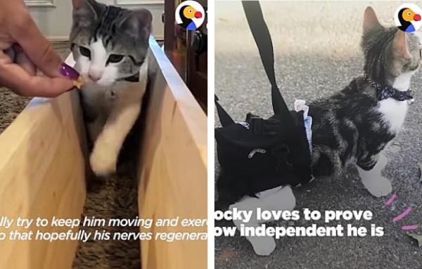 車椅子とハーネスでリハビリを受ける子猫