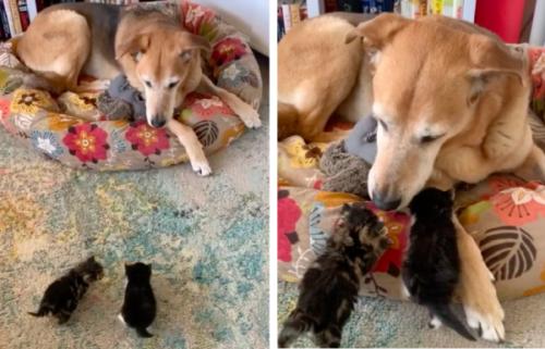 犬を母猫だと思い近づく子猫