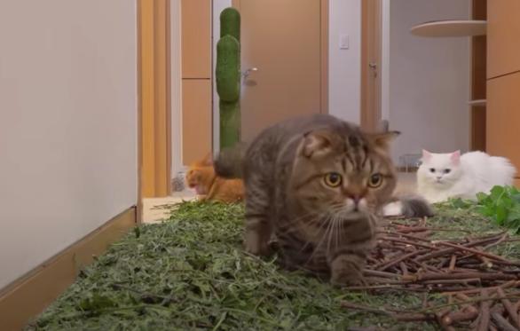 キャットニップを跨いで歩く猫