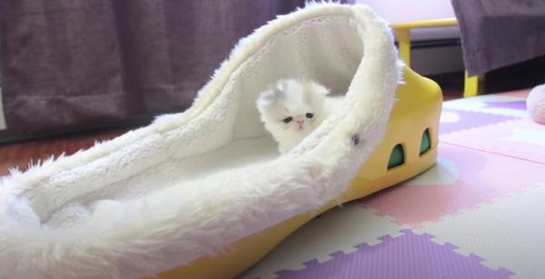 大きなクロックスの中で遊ぶ子猫のマシュマロ