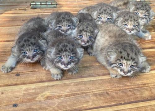 マヌルネコの子猫