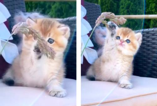 稲穂で遊ぶ猫