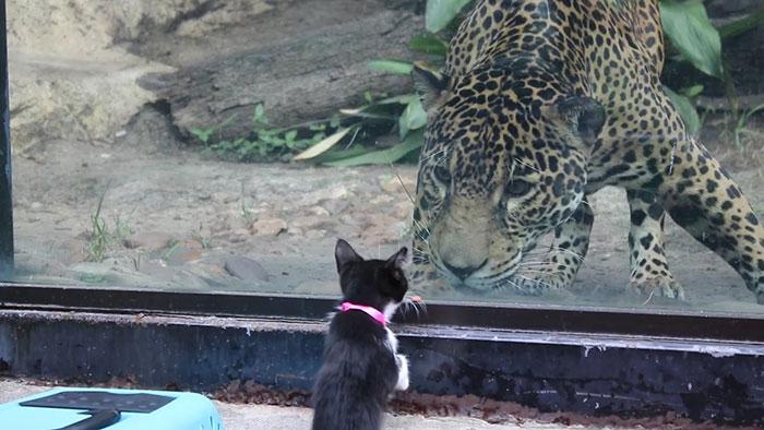 ヒョウと子猫