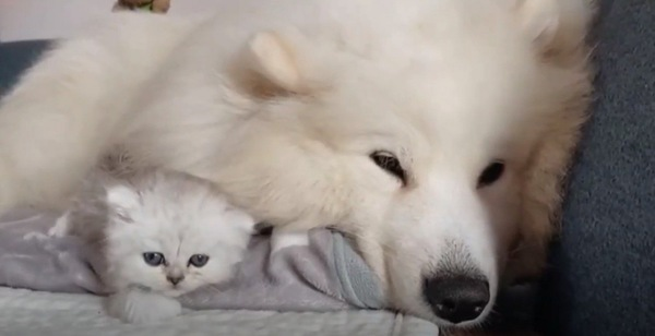 サモエドと子猫