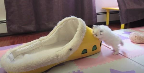 大きなクロックスで遊ぶ子猫