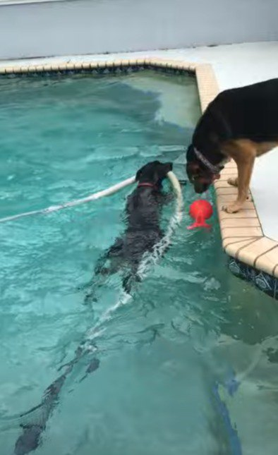 プール用の掃除機ホースを咥える犬