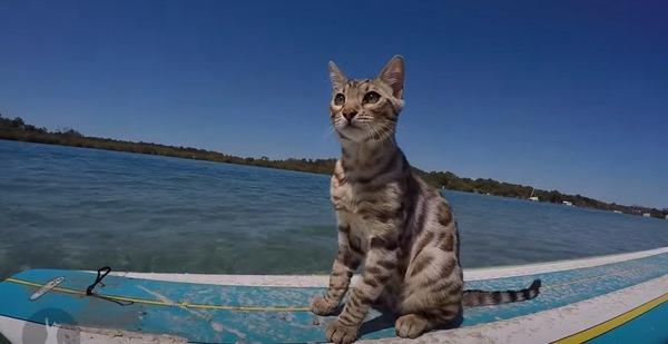 人間用のサーフボードに乗る猫