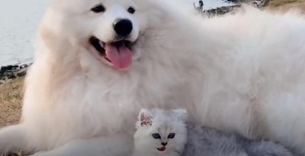 成長した子猫とサモエド
