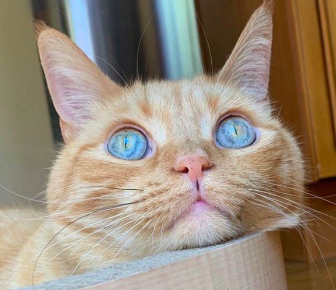 青い目の茶トラ猫