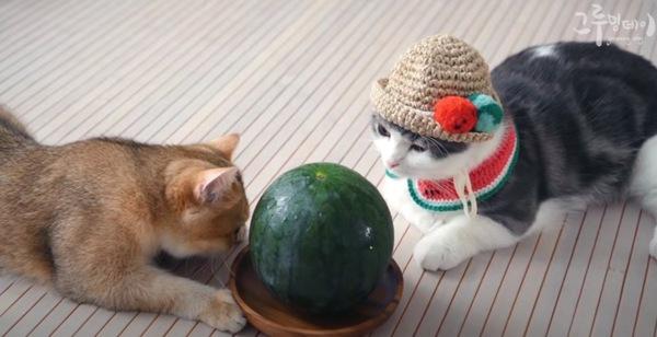 スイカの匂いを嗅ぐ猫
