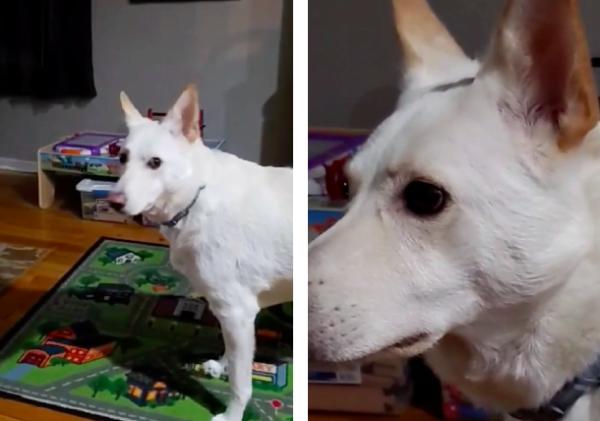 絶望の顔をする犬